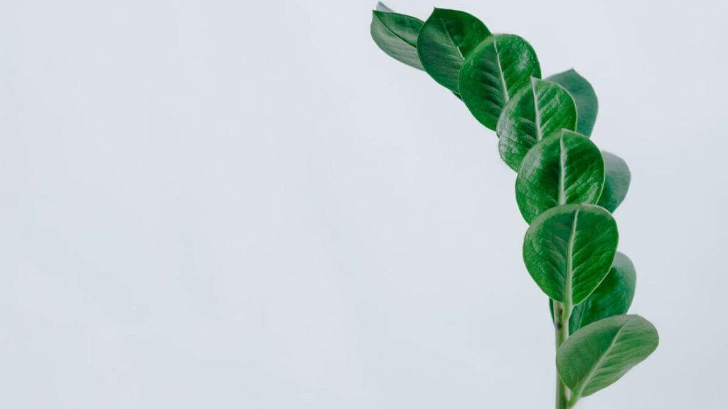 Zamioculcas tipo de planta